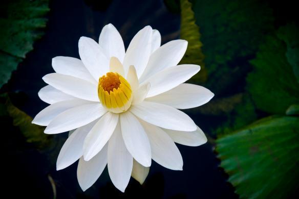 White Lotus1
